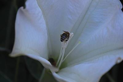 Photograph - Trumpet And The Bee by Michiale Schneider