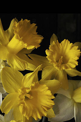 Photograph - Trumpet Daffodils by Nancy Griswold