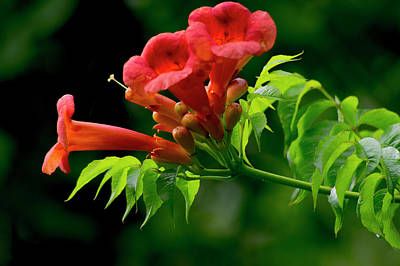 Photograph - Trumpet Flower by Buddy Scott