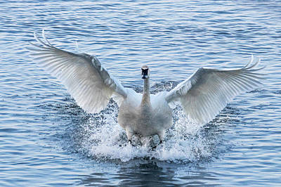 Photograph - Trumpeter Swan Landing #1 by Patti Deters