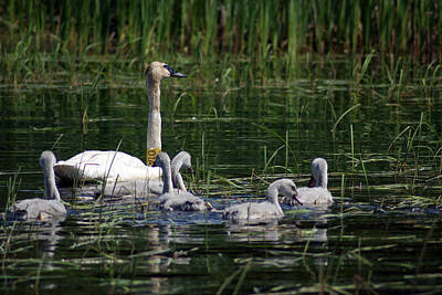 Photograph - Trumpeter Mother And Cygnets by Ron Read
