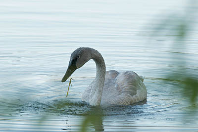 Michigan Photograph - Trumpeter Swan 9662 by Michael Peychich