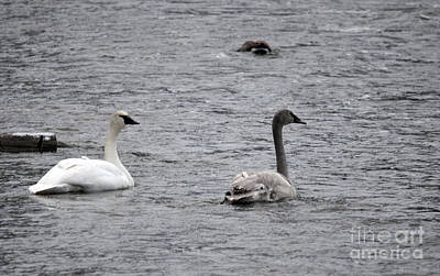 Photograph - Trumpeter Swan And Cygnet by Cindy Murphy - NightVisions
