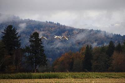 Photograph - Trumpeter Swan Arriving In Skagit County by Karen Molenaar Terrell