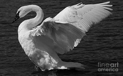 Painting - Trumpeter Swan Black And White by Sue Harper