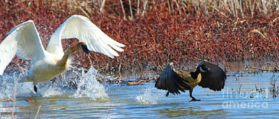 Canadian Marsh Photograph - Trumpeter Swan Chasing Canadian Goose  9774 by Jack Schultz