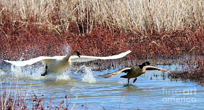 Canadian Marsh Photograph - Trumpeter Swan Chasing Canadian Goose  9775 by Jack Schultz
