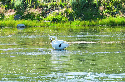 Tetons Photograph - Trumpeter Swan by Greg Norrell