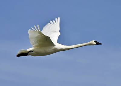 Photograph - Trumpeter Swan In Flight by David Pickett