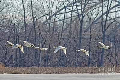 Photograph - Trumpeter Swan In Flight by Natural Focal Point Photography