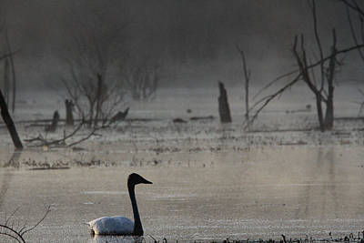 Photograph - Trumpeter Swan by Jim Phares