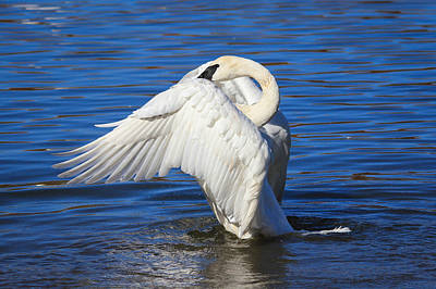 Photograph - Trumpeter Swan  by Kimberly Kotzian