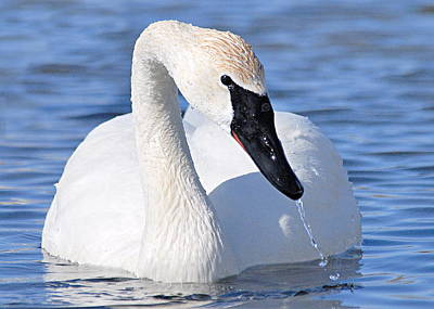 Photograph - Trumpeter Swan by Larry Ricker