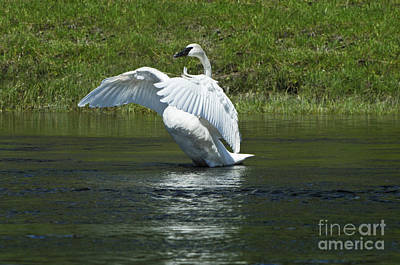 Photograph - Trumpeter Swan On The Madison River by Sandra Bronstein