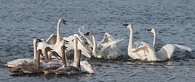 Photograph - Trumpeter Swan Party by Patti Deters