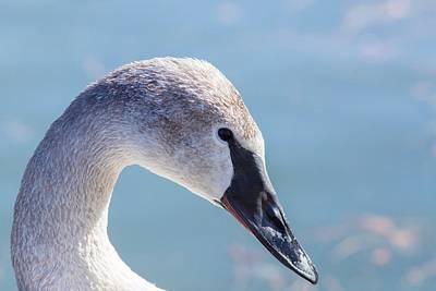 Photograph - Trumpeter Swan Portrait by Lynn Hopwood