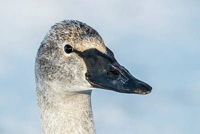 Photograph - Trumpeter Swan Portrait by Patti Deters