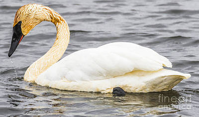 Photograph - Trumpeter Swan by Ricky L Jones