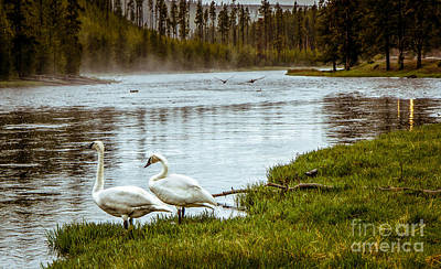 Photograph - Trumpeter Swan by Robert Bales