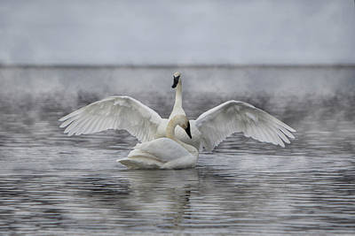 Photograph - Trumpeter Swan Show Off by Patti Deters