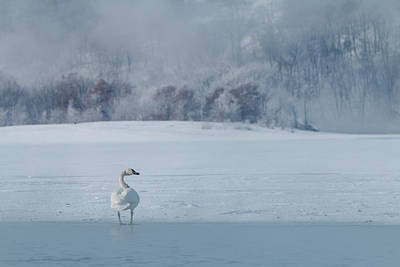 Photograph - Trumpeter Swan Solo by Patti Deters