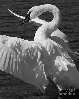 Painting - Trumpeter Swan Vertical Black And White by Sue Harper