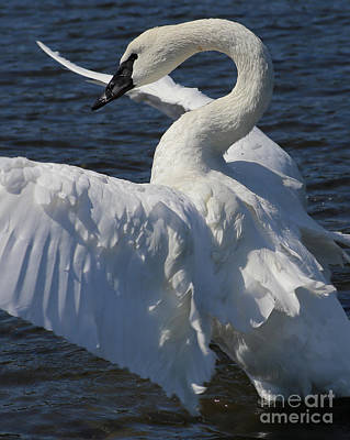 Photograph - Trumpeter Swan Vertical by Sue Harper