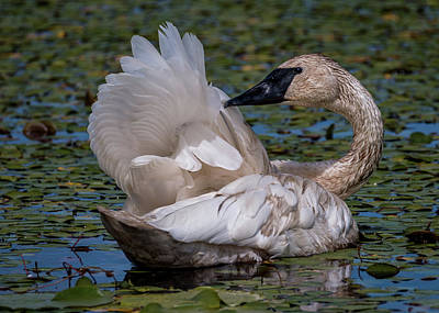 Photograph - Trumpeter Swan Wing Wave by Patti Deters