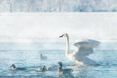 Photograph - Trumpeter Swan With Ducks #1 by Patti Deters