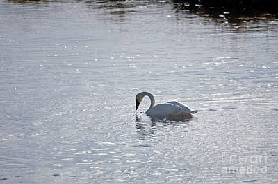 Photograph - Trumpeter Swan Yellowstone by Cindy Murphy - NightVisions