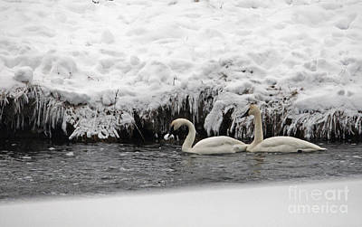 Photograph - Trumpeter Swans by Cindy Murphy - NightVisions