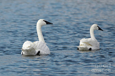 Keith Richards - Trumpeter Swans Grace by Sue Harper