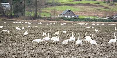 Photograph - Trumpeter Swans In Skagit County by Tom Cochran