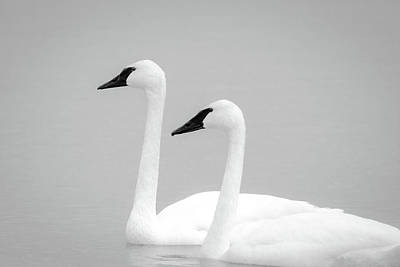 Photograph - Trumpeter Swans by Jeff Phillippi