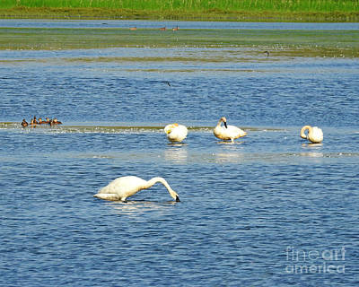 Photograph - Trumpeter Swans by Kathy M Krause