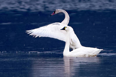 Photograph - Trumpeter Swans by Norman Hall