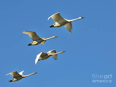 Photograph - Trumpeter Swans by Robert Nowland