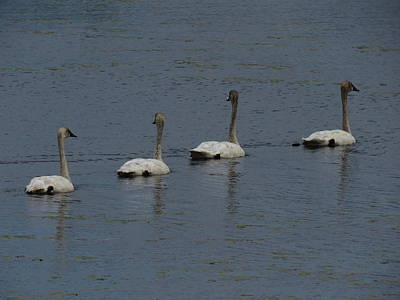Photograph - Trumpeter Swans by Sandra LaFaut
