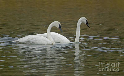 Vermeer Rights Managed Images - Trumpeter Swans-Signed-#0992 Royalty-Free Image by J L Woody Wooden