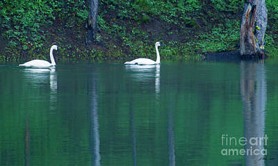 Photograph - Trumpeter Swans-signed-#7524 by J L Woody Wooden