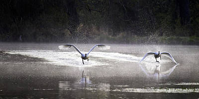 Photograph - Trumpeter Swans Taking Off At Mill Pond by Michael Dougherty