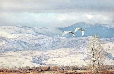 Photograph - Trumpeter Swans Winter Flight by Jennie Marie Schell