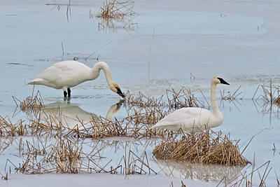 Photograph - Trumpter Swans 8182 by Michael Peychich