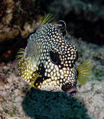 Art Print featuring the photograph Trunkfish Portrait by Jean Noren