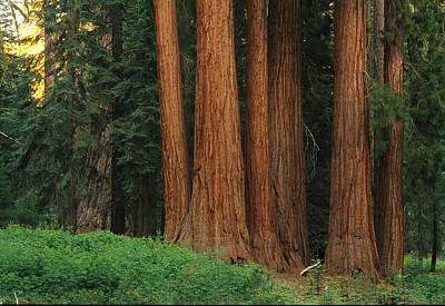 Sequoiadendron Giganteum Photograph - Trunks Of Giant Sequoia Trees by Phil Schermeister