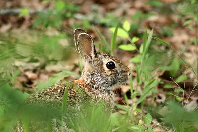 Photograph - Cotton-tail Rabbit Trying To Hide by Sheila Brown