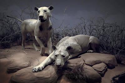 Tsavo Maneating Lions Print by Daniel Hagerman