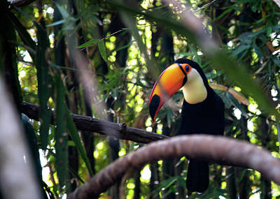 Photograph - Tucan Sam by Frank Feliciano