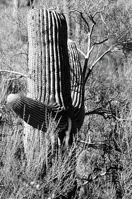 Photograph - Tucson Cactus No. 3-1 by Sandy Taylor