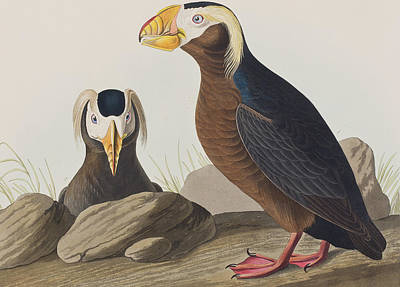 Puffin Painting - Tufted Auk by John James Audubon